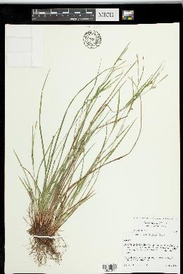 Carex thornei image