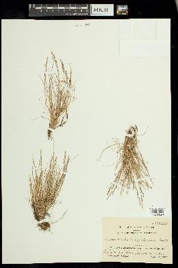 Image of Puccinellia tenella