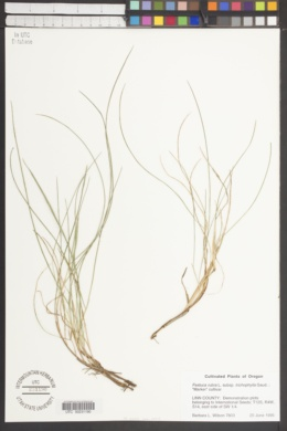 Image of Festuca trichophylla
