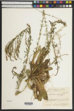 Image of Anarrhinum bellidifolium