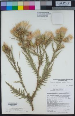 Image of Cirsium chellyense