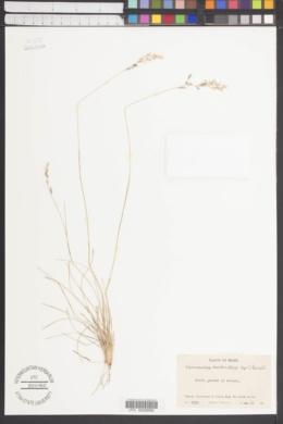 Piptochaetium montevidense image