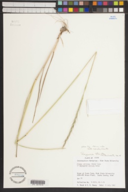 Image of Roegneria stricta