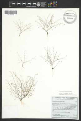 Image of Nemacladus ramosissimus