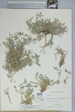 Astragalus nuttallianus var. trichocarpus image