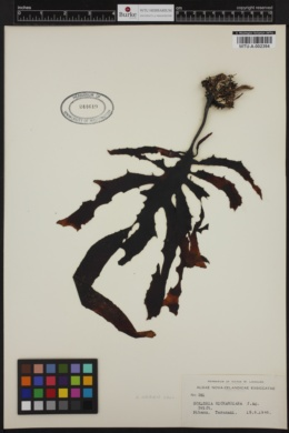 Ecklonia richardiana image
