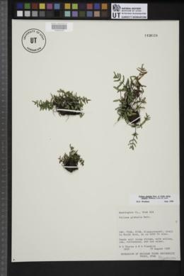 Pellaea glabella subsp. simplex image