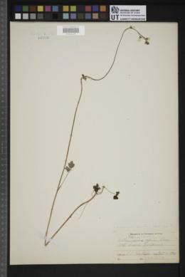 Image of Lithophragma parvifolia