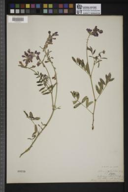 Hedysarum boreale var. boreale image
