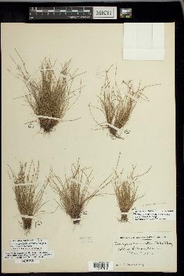 Isolepis pseudosetacea image