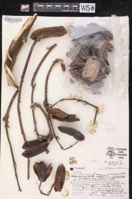Image of Furcraea quicheensis
