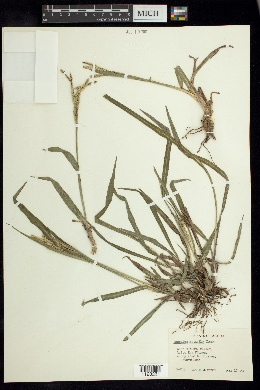 Image of Paspalum mutabile