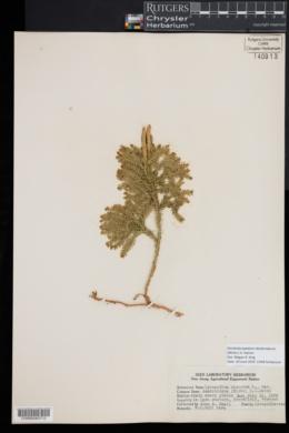 Dendrolycopodium dendroideum image