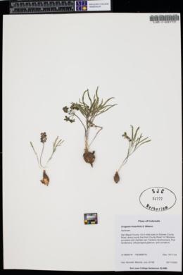 Orogenia linearifolia image