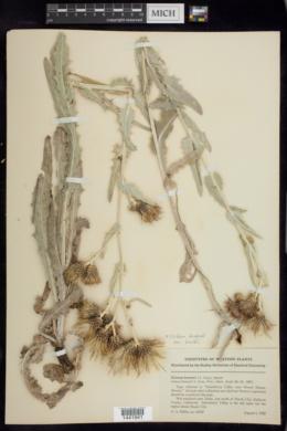 Cirsium douglasii image