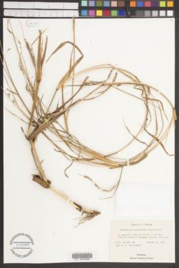 Image of Pennisetum hordeoides