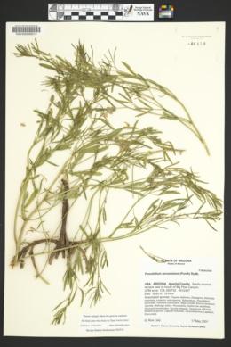 Psoralidium lanceolatum image