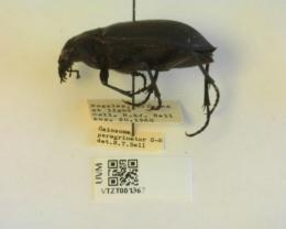 Calosoma peregrinator image