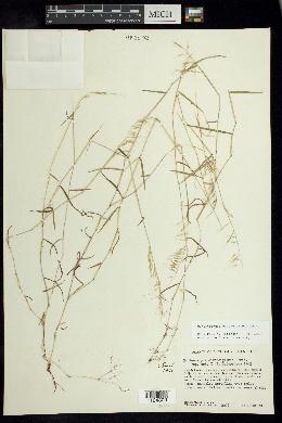 Muhlenbergia diversiglumis image