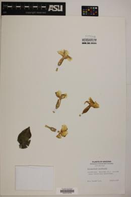 Pachypodium saundersii image