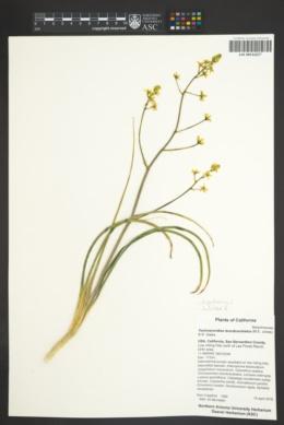 Image of Toxicoscordion brevibracteatus
