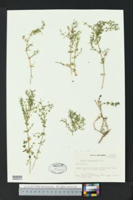 Galium wrightii image