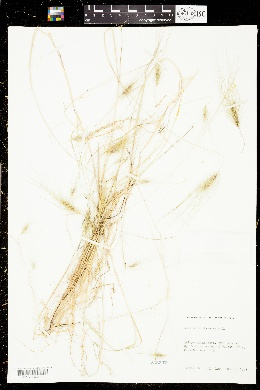 Taeniatherum caput-medusae image