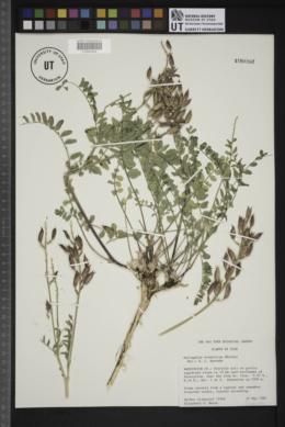 Astragalus eremiticus image