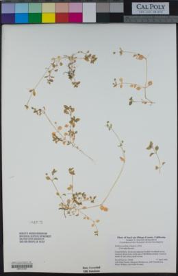 Stellaria pallida image