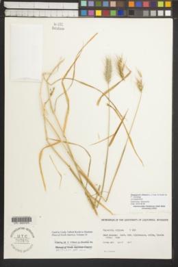 Dasypyrum villosum image