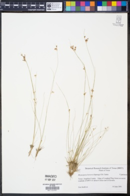 Image of Rhynchospora berteroi
