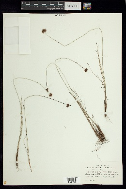 Image of Bulbostylis junciformis