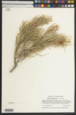 Pinus monophylla var. californiarum image