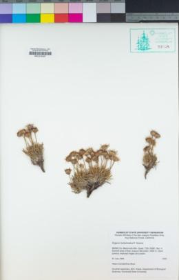 Erigeron barbellulatus image
