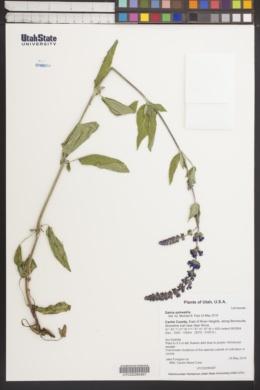 Image of Salvia × sylvestris