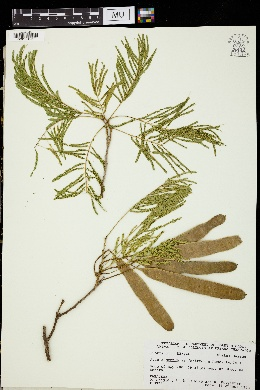 Image of Mariosousa centralis