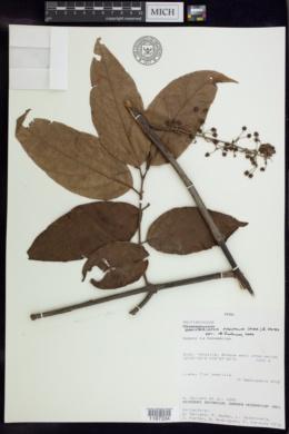 Image of Banisteriopsis padifolia