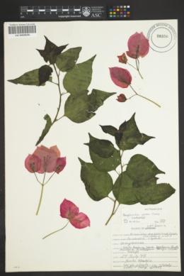 Bougainvillea glabra image