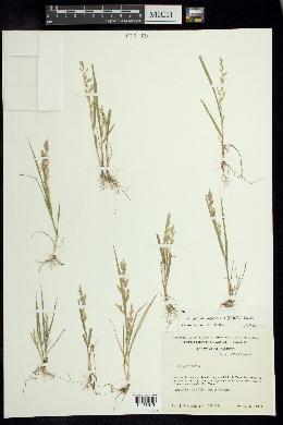 Eragrostis maypurensis image