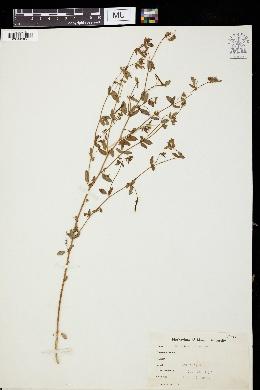 Image of Acmispon americanus