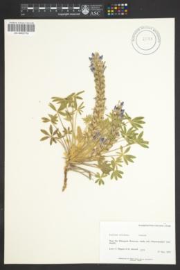 Lupinus volutans image