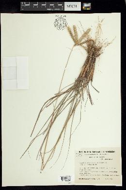 Image of Ctenium plumosum