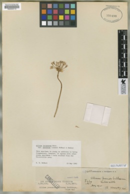Image of Allium pseudobulbiferum