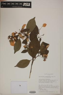 Image of Calycophyllum candidissimum