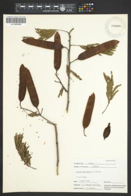 Image of Acacia tenuifolia