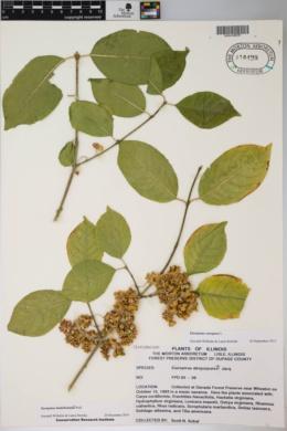 Euonymus hamiltonianus image