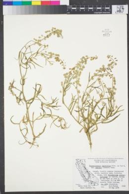 Thysanocarpus laciniatus var. laciniatus image