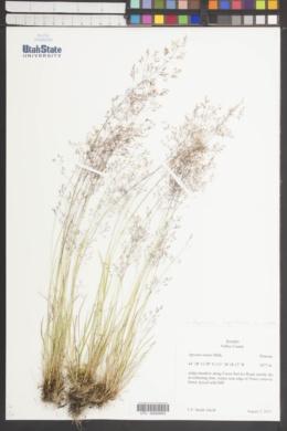 Agrostis capillaris image