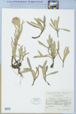 Image of Pseudognaphalium liebmannii