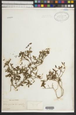 Image of Calycogonium microphyllum